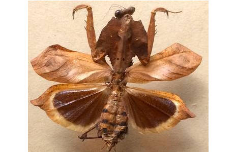 Abb. 6: Fangschrecke Deroplatys rhombica, Malaysia, Vorderbeine zu Fangbeinen umgebildet; Foto: M. Lödl, NHM Wien