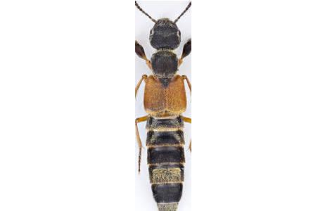 Parapalaestrinus mutillarius (ERICHSON) - Laos; Foto: H. Schillhammer, NHM Wien
