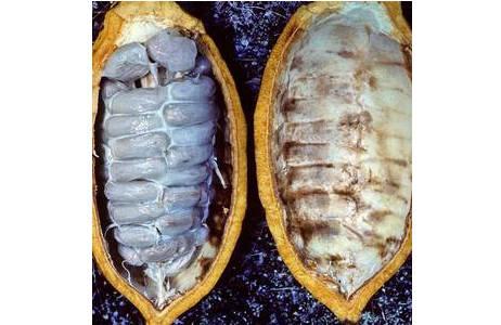 Kakaofrucht. Eine reife Kakaofrucht längs geschnitten mit den zahlreichen vom Fruchtfleisch (Pulpa) eingehüllten Samen; Foto: M.A. Fischer