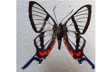 Chorinea sp. (Riodinidae), Peru; Foto: M. Lödl, NHM Wien