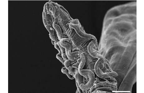 Synhimantus laticeps Vorderende, Rasterelektronenmikroskopische Aufnahme, stark vergrößert; Foto: H. Sattmann, NHM Wien