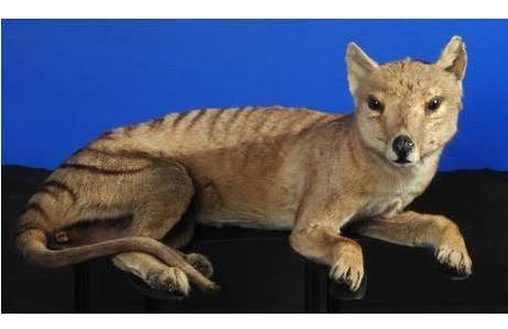 Tasmanische Tiger (Beutelwolf) (NMW ST 132)