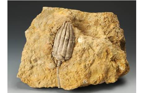 Kelch einer Seelilie (1836-0012-1089)