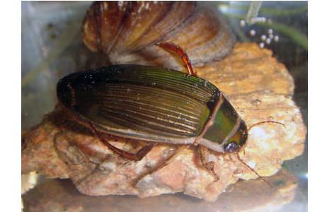Weibchen von Dytiscus marginalis, mit gerieften Flügeldecken; Foto: M. A. Jäch, NHM Wien