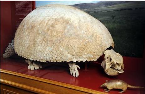 Riesengürteltier (1908-0011-0090)