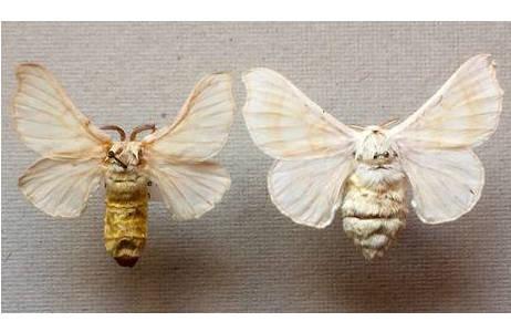 Seidenspinner (Bombyx mori), links Männchen, rechts Weibchen; Foto: M. Lödl, NHM Wien