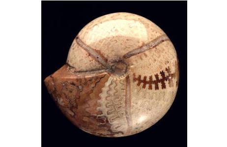 Ammonit mit abgeschliffener Schale (1970-1396-0464)
