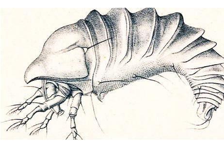Anthocoptes loricatus (Nalepa, 1889) – Originalzeichnung von Alfred Nalepa
