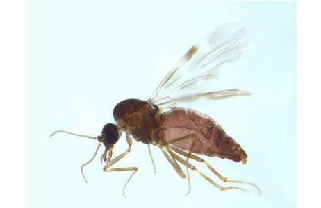 Culicoides obsoletus; Foto: NHM Wien