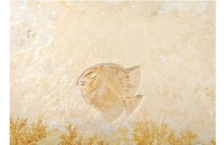 Kugelzahnfisch (1999z0084-0000)
