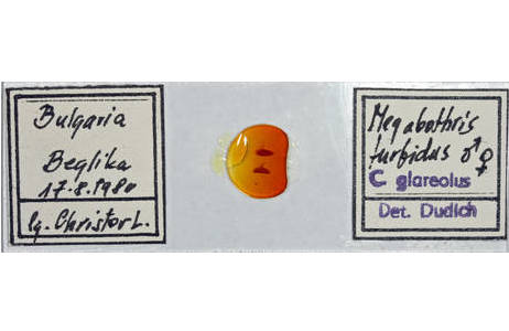 Dauerpräparat, Megabothris turbidus,  männlich und weiblich, aus der Sammlung Dudich, gesammelt in Beglika, Bulgarien; Foto: H. Bruckner, NHM Wien