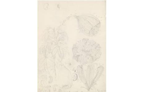Bleistiftzeichnung, Künstler: Ferdinand Lucas Bauer