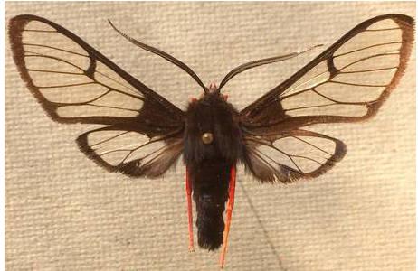 Homoeocera gigantea (Arctiidae), Costa Rica; Foto: M. Lödl, NHM Wien