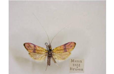 Nemophora annae (ZELLER, 1853) [Nemotois] (=Synonym von Nemophora fasciella FABRICIUS, 1775), Adelidae, wurde 1851 von Josef Mann gesammelt.