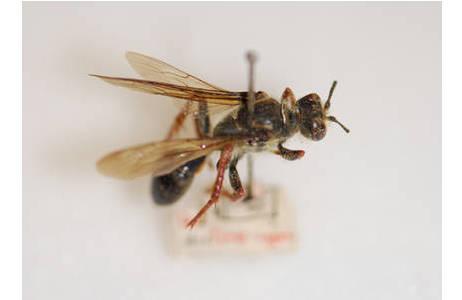 Auf der Novara-Expedition gesammeltes Typus-Exemplar der von Saussure 1867 neu beschriebenen Art Sphex brasilianus; Foto: NHM Wien