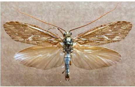 Abb. 2: Köcherfliege (Trichoptera), Salzburg; Foto: M. Lödl, NHM Wien