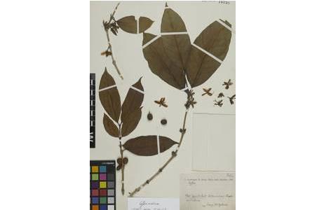 Beleg von Coffea arabica im Herbarium W [W1959-0010738]. Aus Kaffeekulturen in Brasilien, gesammelt 1927-09-30 von A. Ginzberger & H. Zerny.; Foto: NHM Wien