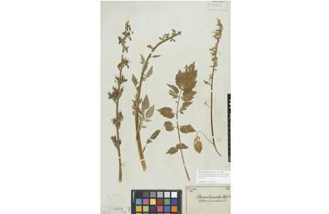 Herbarbeleg von Petromarula pinnata (L.) [W0009485], A. DC.; Foto: NHM Wien