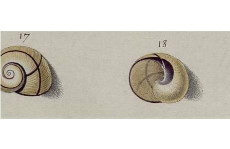 Originalzeichnung auf Tafel 15 aus dem Prachtband von Ignaz von Born (1780),; Foto: NHM Wien, Mollusken Sammlung