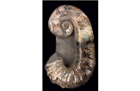Entrollter Ammonit (1996z-0191-0001)