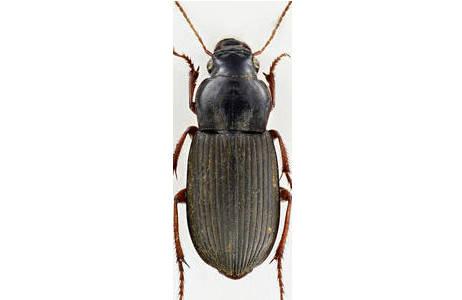 Pseudoophonus rufipes – Körperlänge 13 mm; Foto: H. Schillhammer, NHM Wien