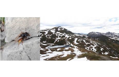 Beobachtung von Andrena rogenhoferi am 10.06.2017 auf über 2500m. Der Schnee in dieser Höhenlage ist zu diesem Zeitpunkt erst teilweise geschmolzen, am Fundpunkt blühten vor allem Enzian und Dryas. (Riedingtal, Salzburg, Österreich); Foto: C. Steinwender