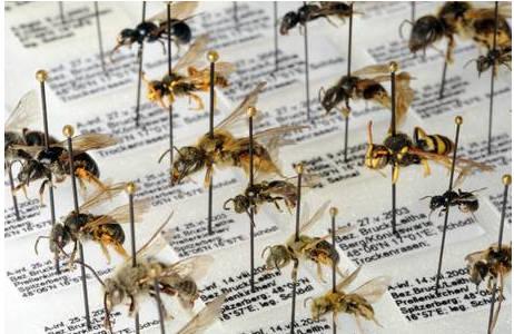 Verschiedene Wildbienen-Arten in der Sammlung des Naturhistorischen Museums.