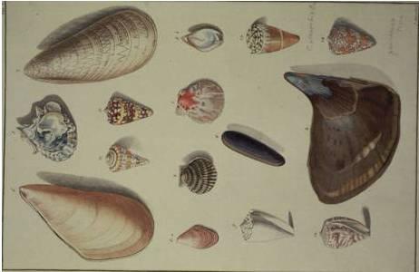 Tafel 7 aus dem Prachtband von Ignaz von Born (1780); Foto: NHM Wien, Mollusken Sammlung