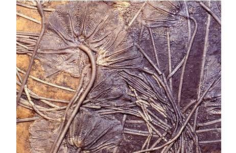 Fossile Seelilien-Kolonie (1998z0085-0000)