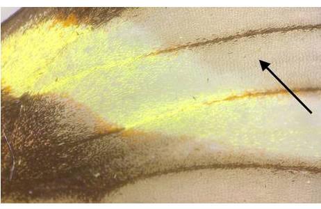Ithomiinae, durchsichtige Flügelbereiche mit haarförmigen Schuppen (Pfeil); Foto: M. Lödl, NHM Wien