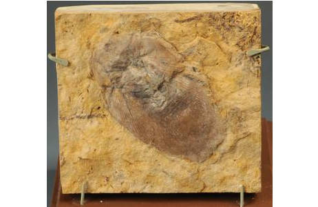 Fossile Schabe (1977-1870-0001)