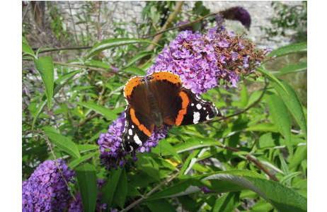 Admiral auf einem Schmetterlingsflieder (Buddleja davidii), Nordtirol, Pfunds, August 2012; Foto: M. Lödl, NHM Wien