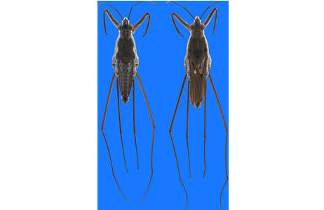 Gerris curvus, flügelloses und geflügeltes Männchen, aus Vietnam, Paratypen (Inv.Nr. HEM9679 und HEM9681); Foto: H. Bruckner, NHM Wien