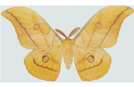 Antheraea yamamai, Männchen, Burgenland, Kohfidisch, Sammlungsexemplar des Naturhistorischen Museums Wien; Foto: M. Lödl, NHM Wien
