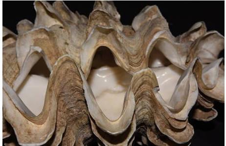 Detailansicht von Tridacna squamosina [NHMW-MO-107076/Paralectotypus] aus Dahab; Foto: S. Schnedl, NHM Wien