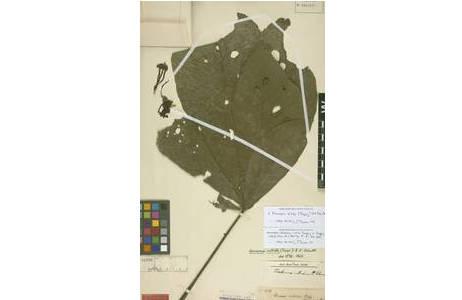 Beleg von Herrania nitida im Herbar W [W-0004855]. Dieser Baum wurde von E. F. Poeppig beim Fluss Tocache in Peru 1830-07 gesammelt und ist als Typusbeleg ausgewiesen; Foto: NHM Wien