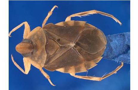 Aphelocheirus australicus USINGER, 1937, Weibchen, das mittels Zerene Stacker fertig montierte Bild; Foto: NHM Wien, H. Bruckner