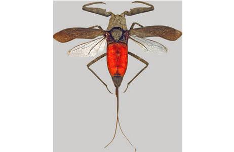 Wasserskorpion Laccotrephes robustus, Männchen von den Philippinen (Inv.Nr. HEM22811); Foto: H. Bruckner, NHM Wien