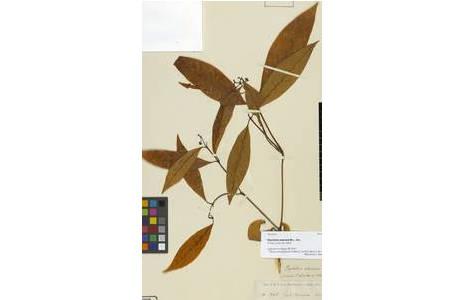 Beleg von Psychotria wawrana Müll. Arg. im Herbar Wien; Foto: NHM Wien
