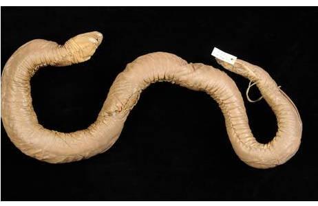 Eiselts Blindwühle, Penis-Schlange (Z1HS009144, Holotypus): Foto: A. Schumacher, NHM Wien