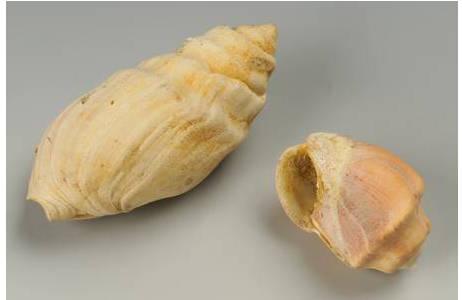Kronenschnecken Gattung Melanopsis (2005z-0015-0001)