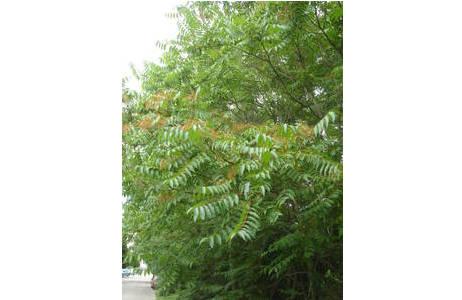 Ailanthus- oder Götterbaum (Ailanthus altissima), Niederösterreich, Korneuburg, Juni 2008; Foto: M. Lödl, NHM Wien