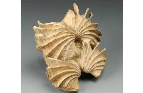 Herzmuscheln mit klaffenden Schalen (1900-0009-0007)