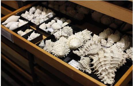 Blick in eine Lade in der Mollusken-Sammlung der 3. Zoologieschen Abteilung; Foto: Prammer-Reuters, NHM Wien
