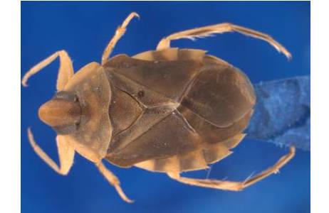 Aphelocheirus australicus USINGER, 1937, Weibchen, eines von 21 Einzelbildern (der Schärfebereich liegt bei diesem Foto oben am Rücken); Foto: NHM Wien, H. Bruckner