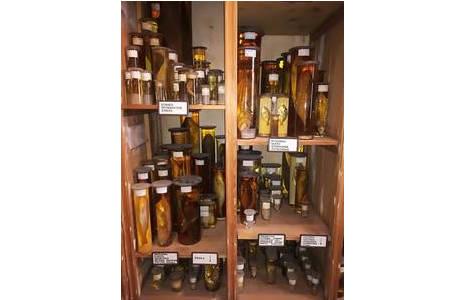Gläser mit Alkoholpräparaten in der Fischsammlung; Foto: NHM Wien
