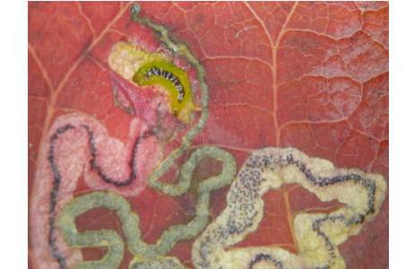 Zum Vergleich ein im Herbst 2010 gesammeltes Blatt mit der Mine von Simplimorpha promissa. Gut erkennbar sind der gewundene Gang und die Kotlinie. Im oberen Teil des Bildes ist die lebende grüne Raupe zu erkennen; Foto: M. Lödl, NHM Wien