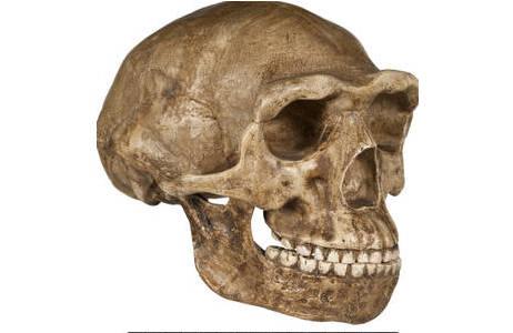 Rekonstruktion eines Homo erectus Schädels; Foto: W. Reichmann, NHM Wien