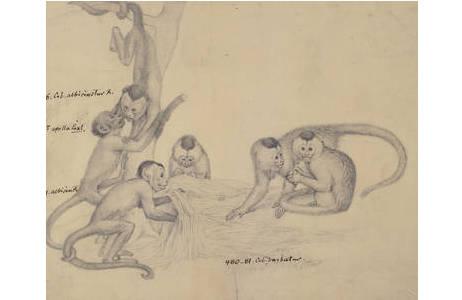 Johann Natterer, Kapuzinerartige Neuweltaffen, Bleistiftzeichnung, H 19 x B  23,5 cm, vor 1836