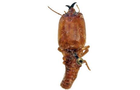 Macrodermes bellicosus